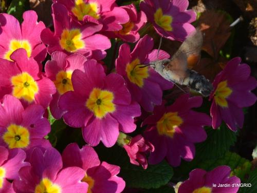 pluie,violettes,hélébores,jonquilles,jardin 034.JPG