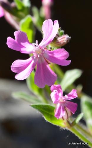 géraniums,glycine Monpazier,cabane,arums,fleurs sauvages 028.JPG