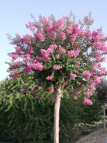 Lilas des indes sur tige - Le lilas des indes ...