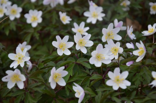fleurs Ciron,jardin,canards,coucous,mauvaise herbe 037.JPG
