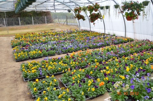 citrouilles,jardin,Combarel 046.JPG