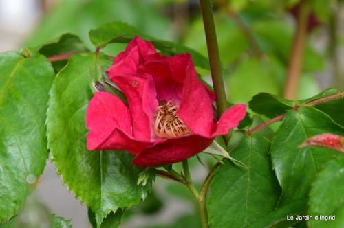 jardin,roses,cabane 003.JPG