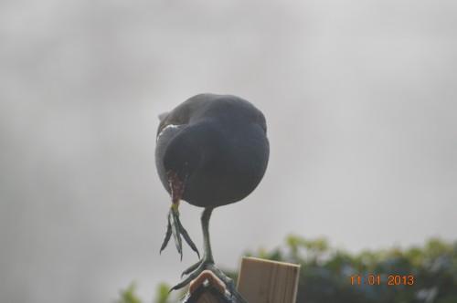 oiseaux,poules,plantes janvier 011.JPG
