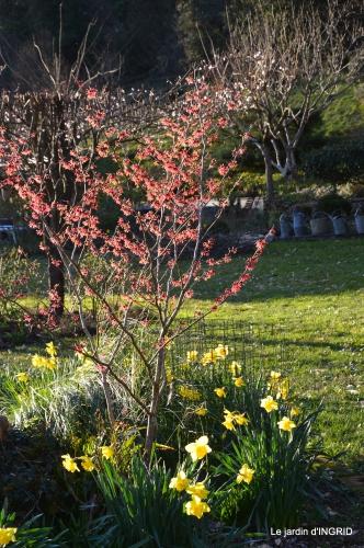 jonquilles,oiseaux avec noix,taille arbres,jardin 029.JPG