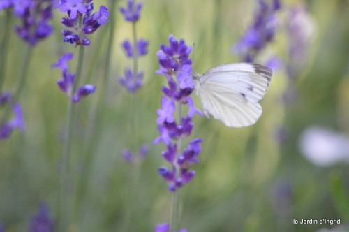 coeur des fleurs,papillons,libellules 174.JPG