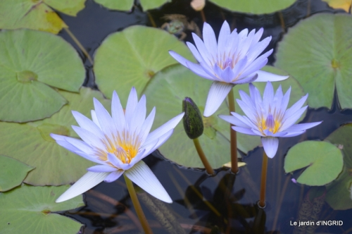 orage,puces,bouquet,Anniv.Ines,Brantome,Jardins d'eau 339.JPG
