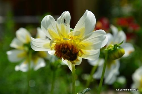 robe Julie,jardin,le flambé,lantanas,dahlias 052.JPG