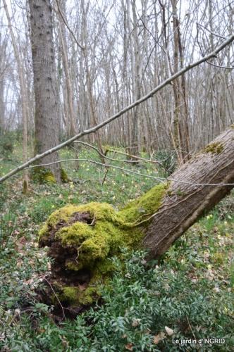 les jonquilles des bois 015.jpg