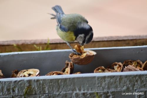 jonquilles,oiseaux avec noix,taille arbres,jardin 064.JPG