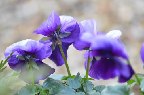 les mésanges,fleurs de février 071.JPG