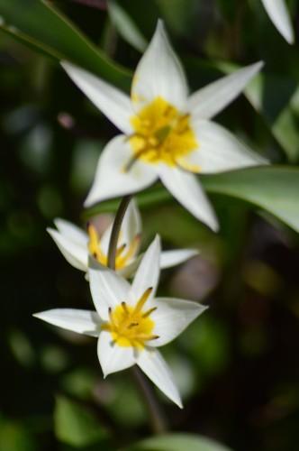 troc graines Neufont,magnolia stelleta 035.JPG