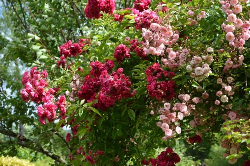 jardin,potager,roses,sauges 115.JPG