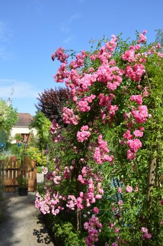 jardin,potager,roses,sauges 100.JPG