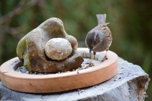 Tarins,oiseaux,persistants 020.JPG