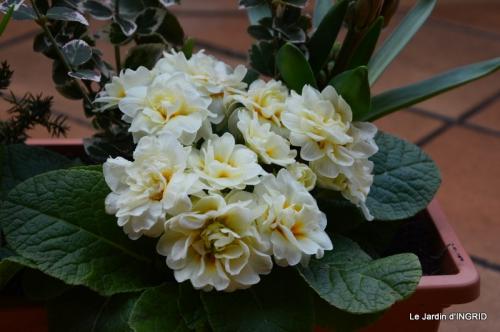 rose blanche,jardinière ,jardin,pt cyclamen 008.JPG