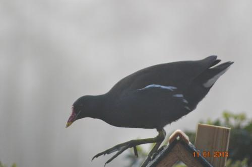 oiseaux,poules,plantes janvier 012.JPG