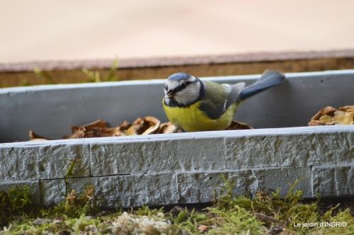 jonquilles,oiseaux avec noix,taille arbres,jardin 080.JPG