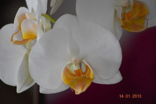 mesanges à longues queues,orchidées,neige2013 027.JPG