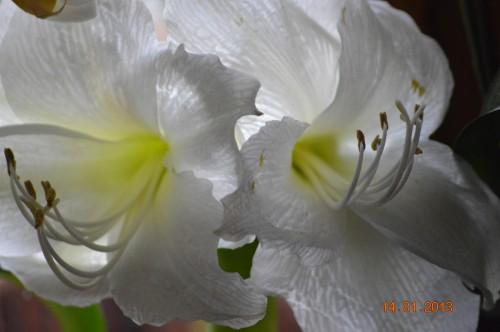 mesanges à longues queues,orchidées,neige2013 032.JPG