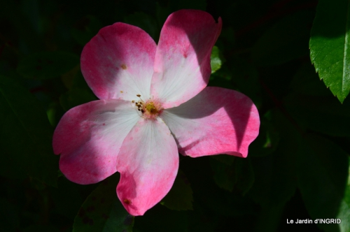 Cadouin,ancolies,roses,pollen,osier,photos Fabien,coquelicots 141.JPG