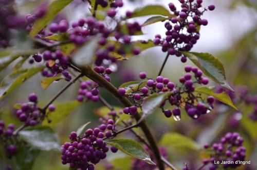 ménage automne,plectanthrus,feuillages 067.JPG