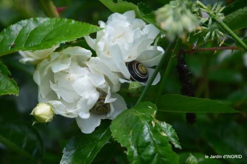 trémolat,oiseaux,jardin,cygnes,roses, 127.JPG