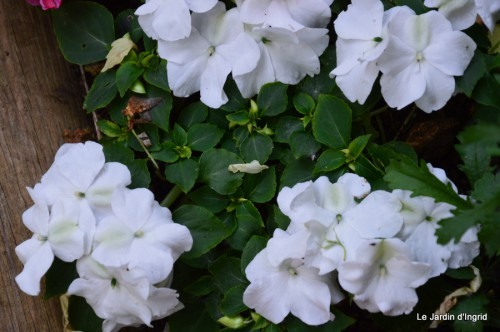 canal,fleurs blanches,marguerites,LE FLEIX,osier 086.JPG