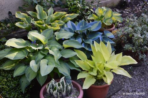 jardin,bébés cygnes,puces Prigorieux,pavot 071.JPG
