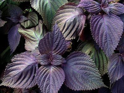 Perilla_Frutescens_Leaves2.jpg