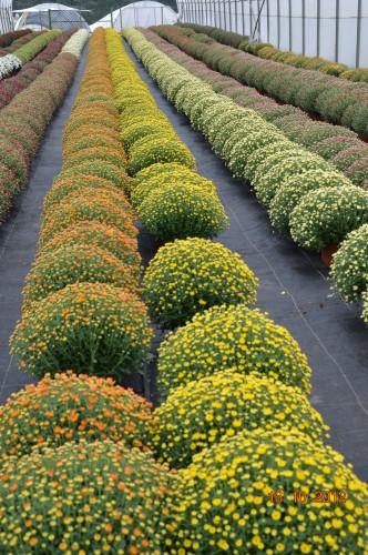 citrouilles,jardin,Combarel 049.JPG