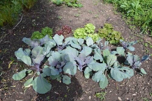 jardin,potager,roses,sauges 093.JPG