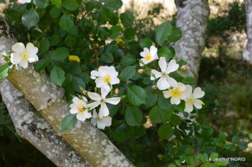 Cadouin,ancolies,roses,pollen,osier,photos Fabien,coquelicots 149.JPG