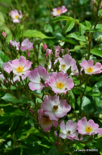 Cadouin,ancolies,roses,pollen,osier,photos Fabien,coquelicots 197.JPG
