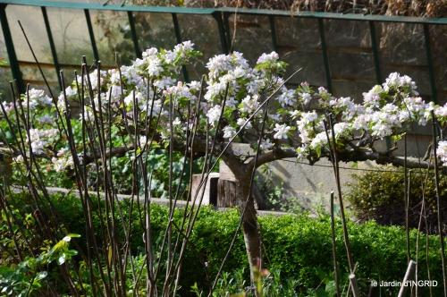 première roses,achats,jardin blanc 032.JPG