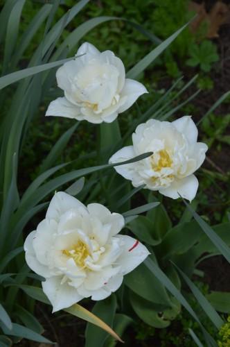 pla.medicinales,lamiers,phlox,arbustes,orchidée 089.JPG