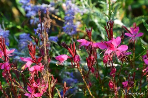 jardin,puces Lasmonzie,asters 028.JPG