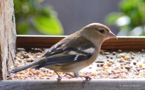 les oiseaux,les poules d'eau 041.JPG