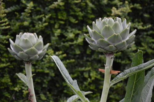 jardin,potager,roses,sauges 009.JPG