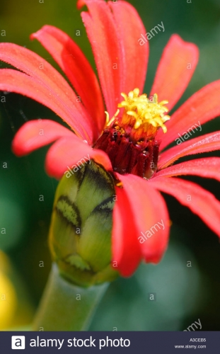 zinnia-red-spider-A3CEB5.jpg