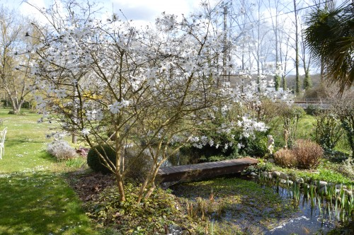 troc graines Neufont,magnolia stelleta 061.JPG