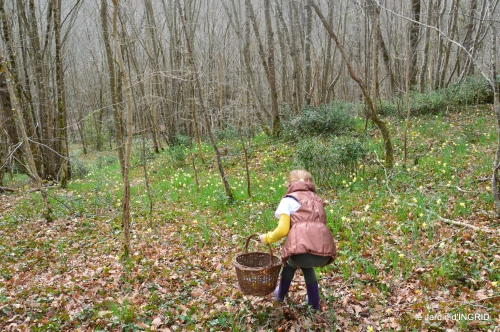jonquilles dans les bois 022.JPG