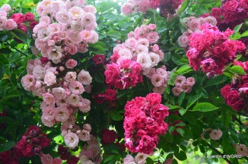 mon jardin,dégats buis, 015.JPG