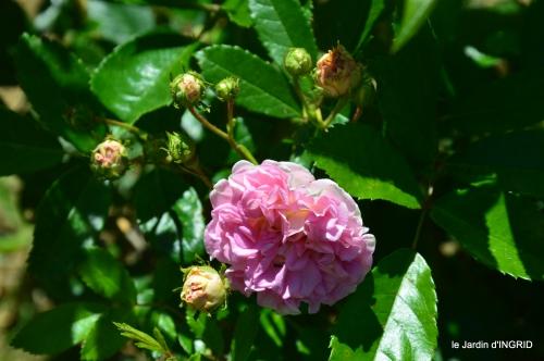 le jardin de Frescati,roses 030.JPG