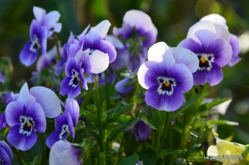 jardin avril,tulipes pivoine,iris d'eau,chenilles 128.JPG