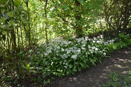 iris,arbre de judée,pivoine,Arya,viburnum,pts plants,cytise,akéb 043.JPG