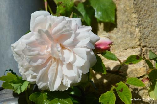 première roses,achats,jardin blanc 040.JPG