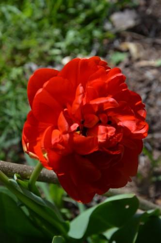 avant tonte,après,euphorbes,tulipes botaniques,autres 027.JPG