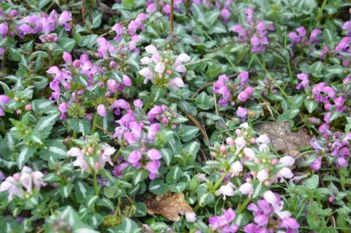Beaumont,tulipes,primevères et autres,chez Bernadette 122.JPG