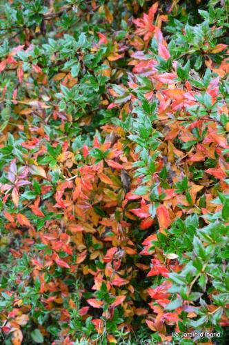 les tons roses,choux frisés,automne 084.JPG