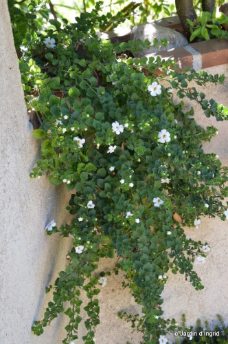 hélychrysum,ipomée batatas,plectanthrus,lysimaque,tradenscantia,glechoma,vinca,lobélia,pétunia surfinia